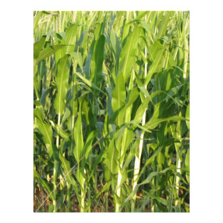 Green corn plants are growing in summer letterhead