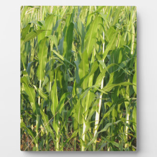 Green corn plants are growing in summer plaque