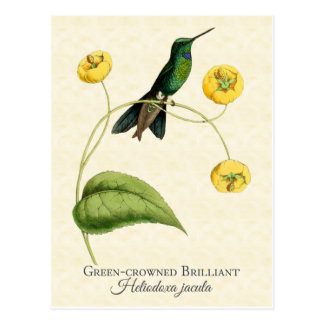 Green Crowned Brilliant Hummingbird Vintage Art Postcard