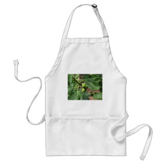 Green figs ripening on a fig tree standard apron
