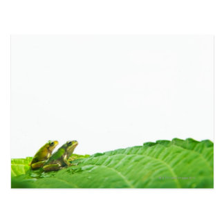 Green frogs on the leave postcard