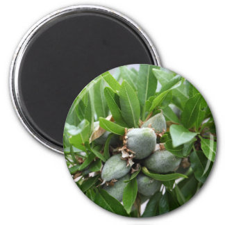 Green fruits of an almond tree 2 inch round magnet