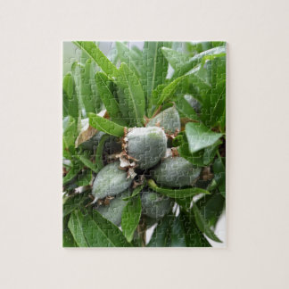 Green fruits of an almond tree jigsaw puzzle