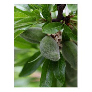 Green fruits of an almond tree postcard