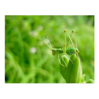 Green Grasshopper on Daylily Buds Postcard