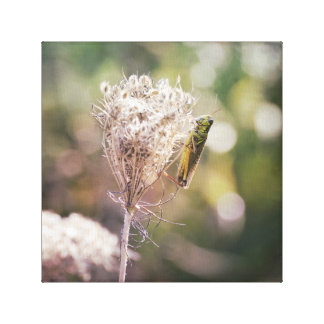 Green Grasshopper on Dried Queen Anne's Lace Canvas Print