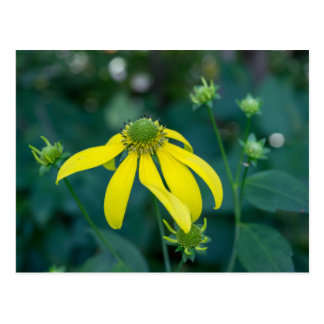 Green-Headed Coneflower Yellow Wildflower Postcard