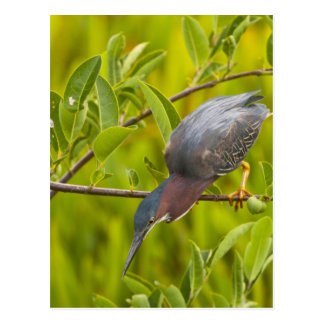 Green heron hunting from a branch postcard