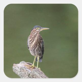Green Heron on a log Square Sticker