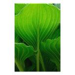 Green Hosta Leaf Photography Print Photo Print