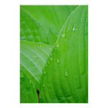 Green Hosta Leaves and Water Droplets Poster