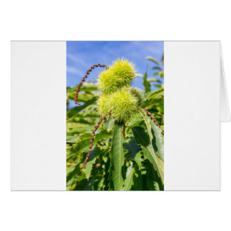 Green husks and leaves of sweet chestnut tree card