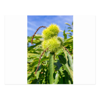 Green husks and leaves of sweet chestnut tree postcard