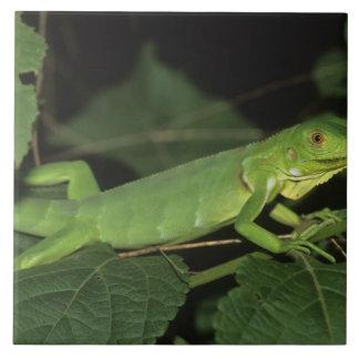 Green Iguana, (Iguana iguana), Common Iguanas Ceramic Tiles