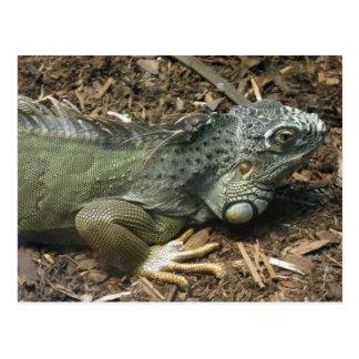 Green iguana postcard