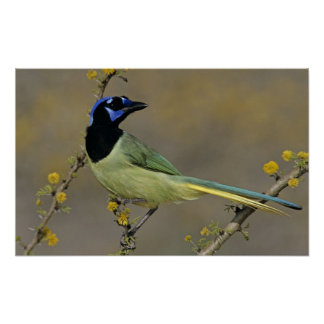 Green Jay, Cyanocorax yncas, adult on blooming Poster