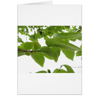 Green leaves of persimmon tree on white background card