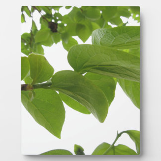 Green leaves of persimmon tree on white background plaque