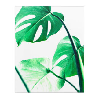 Green monstera leaves tropical exotic foliage acrylic print