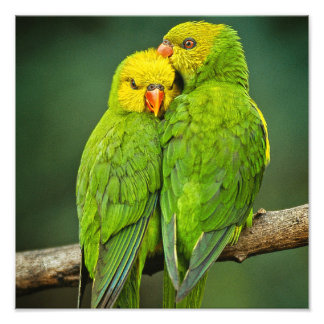 Green Parrots Love Birds Photography Photo
