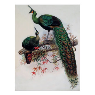 Green Peafowl, Pavo muticus, 1872 monograph of Pha Poster