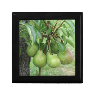 Green pears hanging on a growing pear tree gift box