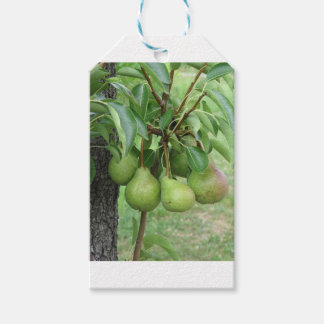 Green pears hanging on a growing pear tree gift tags