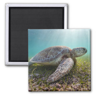 Green Sea Turtle At Dusk | Akumal Bay Magnet