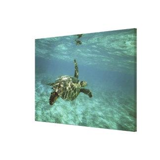 Green Sea Turtle, (Chelonia mydas), Kona Coast, Stretched Canvas Prints