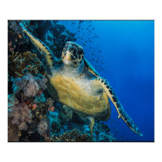 Green Sea Turtle | Red Sea Poster
