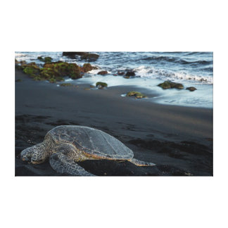 Green sea turtle resting along the shoreline gallery wrap canvas