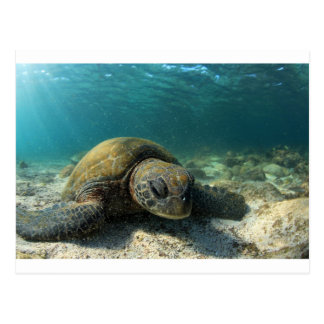 Green sea turtle resting underwater Galapagos Postcard