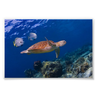 Green Sea Turtle swimming with two Batfish Poster