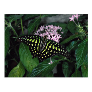 Green-spotted triangle butterfly, Malaysia Postcard