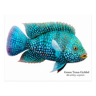 Green Texas Cichlid Postcard