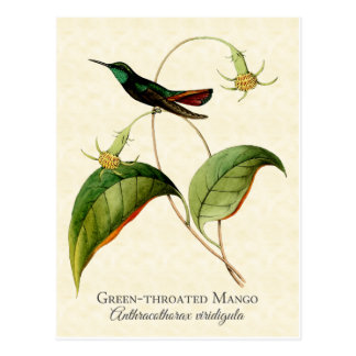 Green Throated Mango Hummingbird Art Postcard