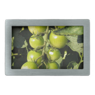 Green tomatoes hanging on the plant in the garden belt buckles