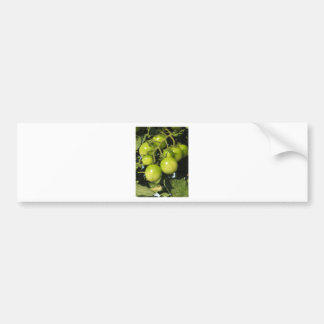 Green tomatoes hanging on the plant in the garden bumper sticker