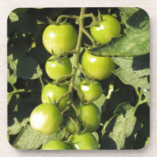 Green tomatoes hanging on the plant in the garden coaster