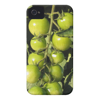 Green tomatoes hanging on the plant in the garden iPhone 4 Case-Mate cases
