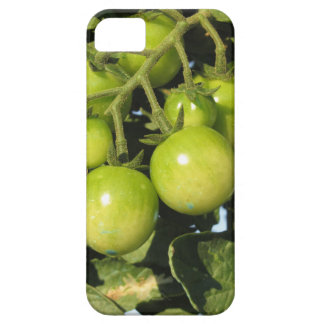 Green tomatoes hanging on the plant in the garden iPhone 5 cover