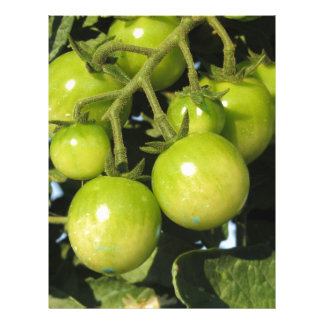 Green tomatoes hanging on the plant in the garden letterhead