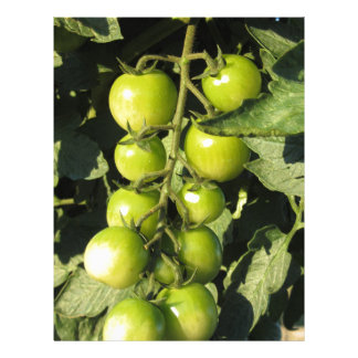 Green tomatoes hanging on the plant in the garden letterhead design