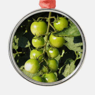 Green tomatoes hanging on the plant in the garden metal ornament