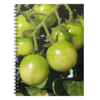 Green tomatoes hanging on the plant in the garden notebook