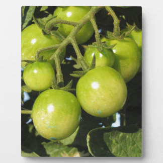 Green tomatoes hanging on the plant in the garden plaque