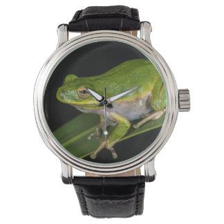 Green Tree Frog (Hyla cinerea) 2 Watch
