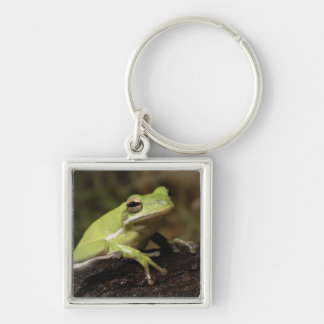 Green Tree Frog, Hyla cineria, Silver-Colored Square Keychain