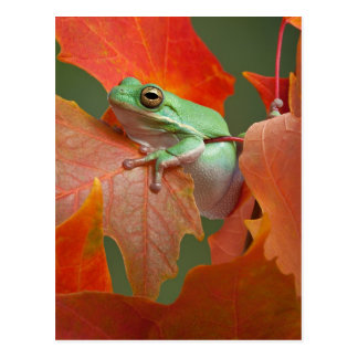 Green Tree Frog In Fall Postcard