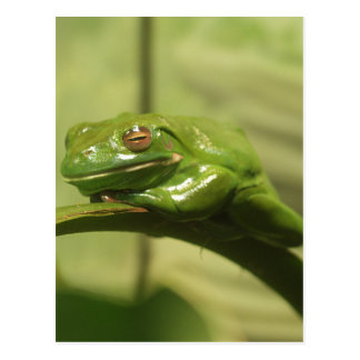 Green Tree Frog Postcard
